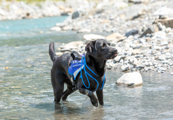 Assistance dog in the river