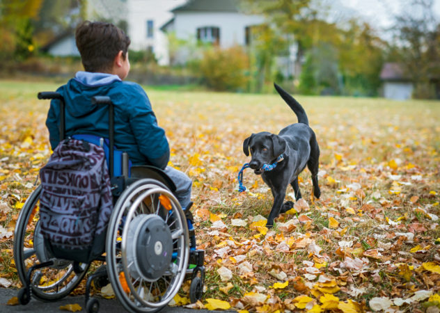 Assistance dog fetches a toy for a young boy sitting in a wheelchair