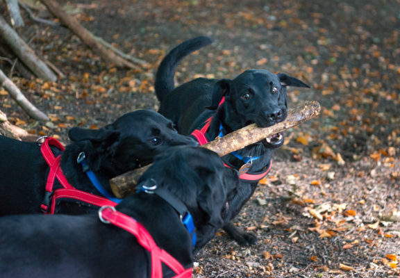 Autism service dogs playing with a branch in the forest