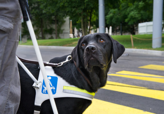 Guide dog stops before the zebra crossing and waits for the blind person's command