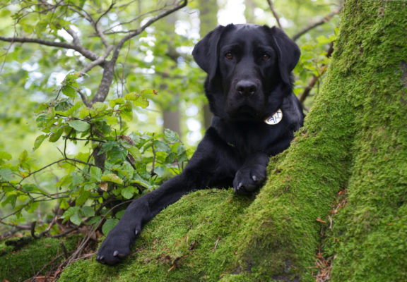 Black Labrador lies at the foot of a green and mossy tree