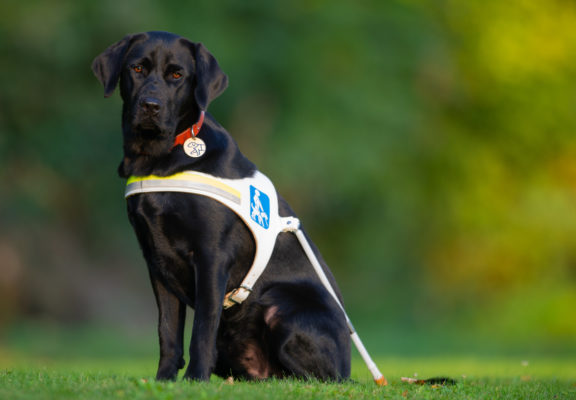Guide dog in harness out in the countryside